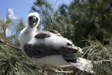 Juvenile Red-footed Booby on Laysan Island
