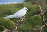 White tern on Nihoa Island