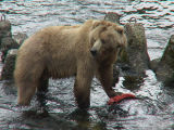 Kodiak Brown Bear Sow with Salmon