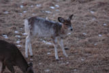 Young Piebald Deer
