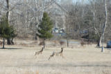 Herd of White-tailed Deer