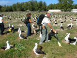 Counting Laysan Albatross nests