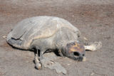 Dead Sea turtle on shore