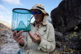 Nihoa Millerbird Translocation