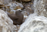Brown Noddy nesting