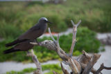 Brown Noddy perched on a piece of wood