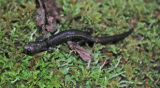 Cheat Mountain salamander