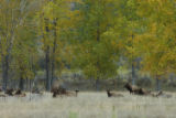 Rocky Mountain elk herd in a field of Fall Cottonwoods