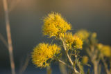 Common Rabbitbrush