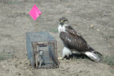 Ferruginous hawk sitting by a trap