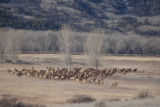 Rocky Mountain elk herd in a field of Winter Cottonwoods