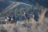 Mule deer near a scenic hillside