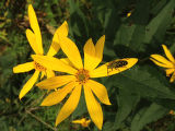 Locust borer beetle on a woodland sunflower