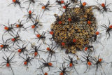 Wheel bugs hatching