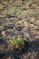 Prescribed burn regrowth of Big Bluestem grasses