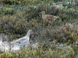 Willet and Wimbrel