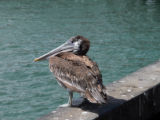 Brown Pelican, juvenile