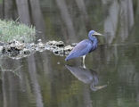 Small Blue Heron
