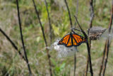 Monarch butterfly rests on milkweed pod