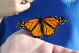 Monarch butterfly rests on finger
