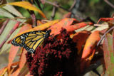 Monarch butterfly on Fall foliage