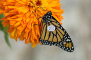 Tagged Monarch Butterfly on a flower