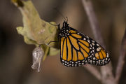 Adult monarch butterfly on a branch