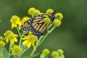 Adult Monarch Butterfly on a flowering plant
