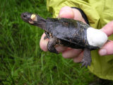 Bog turtle affixed with radio transmitter
