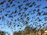 Mexican free-tailed bats