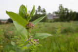 Common Milkweed blooms near building