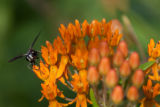 Butterfly Weed with insect on flower