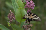 Eastern tiger swallowtail feeds on common milkweed