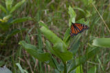 Monarch Butterfly on a milkweed plant