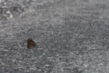 Monarch butterfly on asphalt road