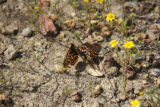 Quino Checkerspot butterflies