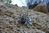 Santa Monica Mountains dudleya