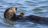 Southern Sea otter with green crab