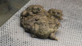Wyoming toads