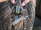 Transmitter on a Long-Billed curlew
