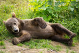 Kodiak brown bear cub