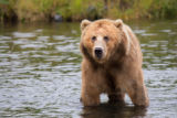 Kodiak brown bear in water