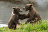 Playful wrestling between two Kodiak brown bears