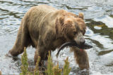 Kodiak brown bear sow with fresh catch