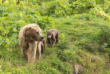 Kodiak brown bear sow and cub