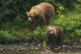 Kodiak brown bear sow and cub look along the river