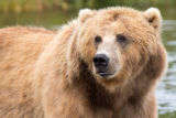 Kodiak brown bear close-up