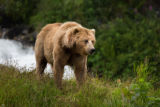 Kodiak brown bear sow