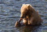 Kodiak brown bear with fish