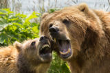 Kodiak brown bear sow and cub playing